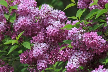 Spoed Foto op Canvas Lilac Blooming lilac close-up