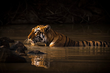 A Bengal Tiger (Panthera Tigris Tigris) In The Sunlight In A Water Hole Shrouded In Dark Shadows; Chandrapur, Maharashtra, India