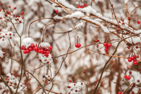 Mid-December Snow On Wild Rose Hip; Bedford, Nova Scotia, Canada