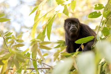 Monkey In A Tree; Nicaragua