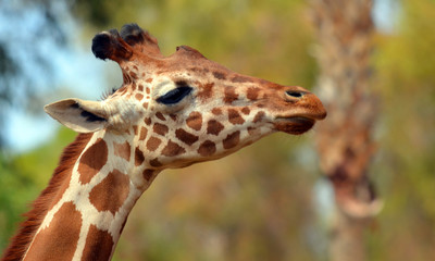 Photo sur Aluminium Girafe The giraffe (Giraffa camelopardalis) is an African even-toed ungulate mammal, the tallest of all extant land-living animal species, and the largest ruminant.