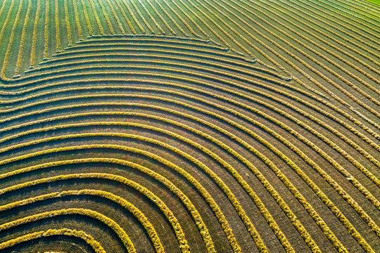 Aerial views of canola harvest lines glowing at sunset; Blackie, Alberta, Canada