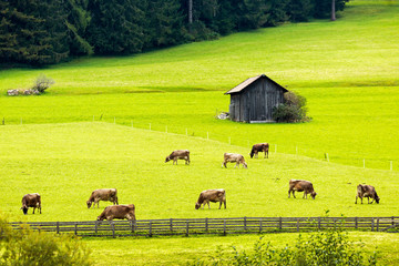 Cattle grazing in alpine meadow with wooden fence and small barn; Sesto, Bolzano, Italy