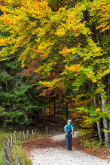 A woman hikes along a road under colourful autumn coloured foliage on the trees; Caldaro, Bolzano, Italy