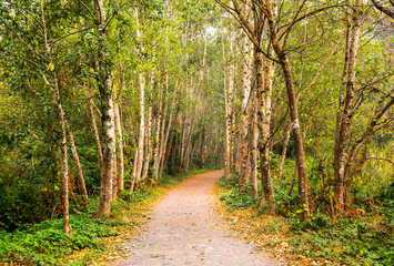 A path through a forest of alder trees; Yarrow, British Columbia, Canada