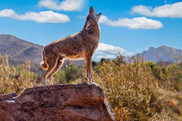 Howling Wolf (canis lupus); Tuscon, Arizona, United States of America