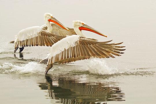 Dalmatian pelicans landing on water