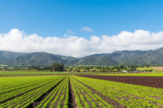 Agricultural scene of a field of green and red lettuce with rows to perspective toward a mountain range in the Salinas Valley, Monterey County, California