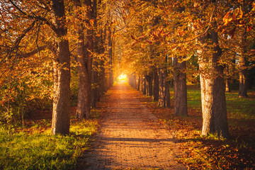 Tree avenue in autumn during sunset. Sunset with golden leaves. Backlight at the end of the avenue Fotoväggar