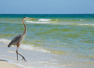 Wall Mural - Beautiful Great Blue Heron Walking Down a Florida White Sand Beach