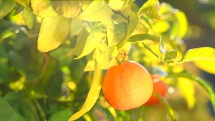 Fotoväggar - Ripe tangerines hanging on a tree. Beautiful healthy organic juicy oranges in sunny orchard. Orange fruits gathering. Slow motion 4K UHD video 3840X2160