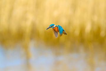 Photo sur Aluminium Dauphins Flying bird kingfisher. Yellow nature background. Bird: Common Kingfisher. Alcedo atthis.
