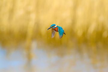 Fond de hotte en verre imprimé Dauphins Flying bird kingfisher. Yellow nature background.