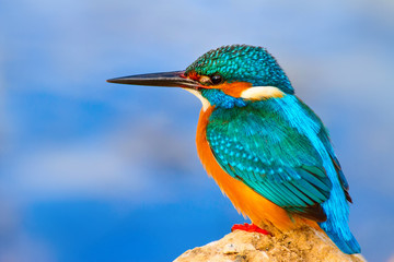 Colorful bird kingfisher. Blue water background.