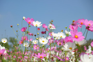 Fototapete - White and pink cosmos flower in the field.