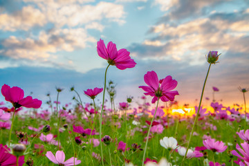Wall Mural - Cosmos flower in the field at sunset.