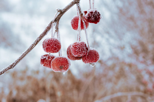 red apples in winter frost on apples is very cold, the background is blurred