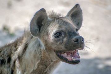 Spotted Hyena in nature, Portrait close up.