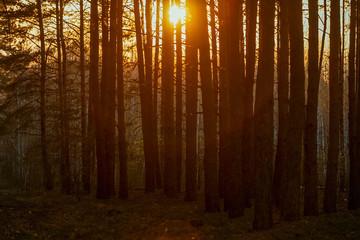 Aluminium Prints Crimson beautiful orange sunset in a pine summer forest