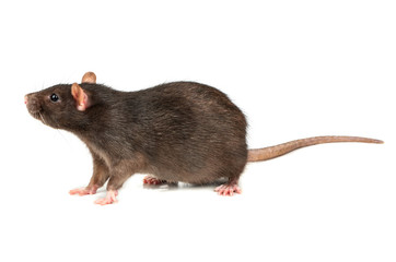 Grey rat isolated