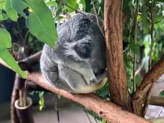 Koala dormant