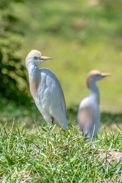 Great white egret (egretta alba),The Gambia - West Africa