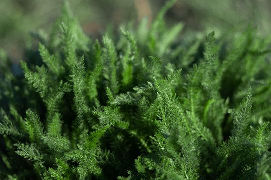 Green healing herb Achillea millefolium