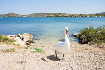 Bilice, Sibenik-Knin, Croatia - A white swan walking upwards the beach