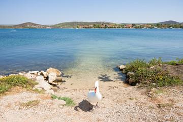Bilice, Sibenik-Knin, Croatia - A swan acting as a gate keeper