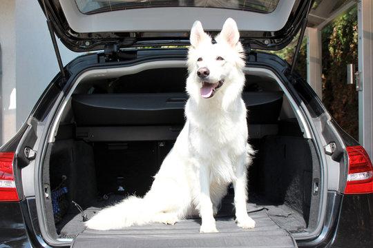 Hund sitzend im Kofferraum