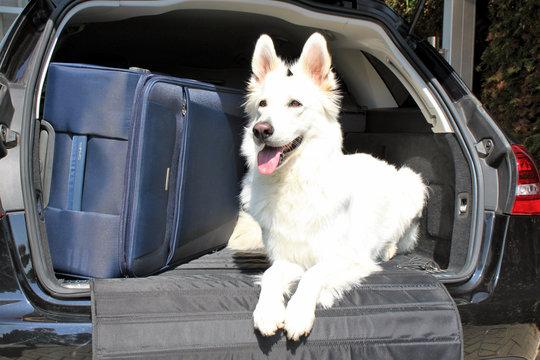 Hund mit Koffer im Kofferraum
