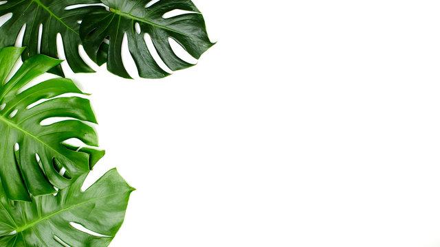 Monstera leaves On White background