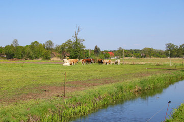 Cows on a meadow in Spree Forest, Countryside - Germany