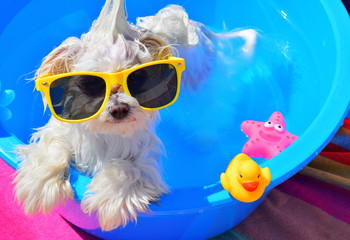 dog with sunglasses on the pool
