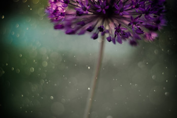 alium flower with dandelion flower structure wit water drops. macro. soft focus. shallow depth of field Wall mural