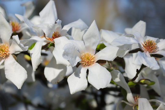 A white Magnolia tree in full flower in the spring sunshine.  Taken in Cardiff, South Wales, UK