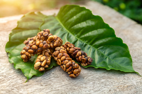 Kopi luwak or civet coffee on the coffee leaf, is one of the world's most expensive and low-production varieties of coffee, Coffee beans excreted by the civet.