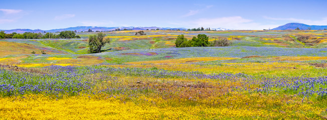 Self adhesive Wall Murals Orange Wildflowers blooming on the rocky soil of North Table Mountain Ecological Reserve, Oroville, Butte County, California