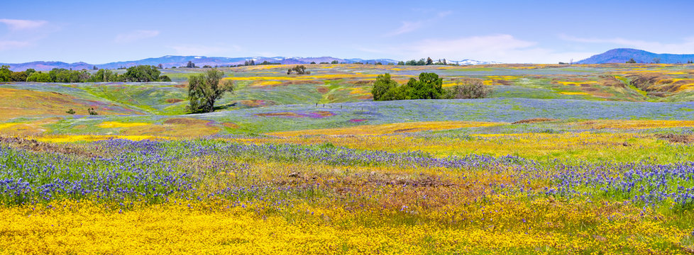 Wildflowers blooming on the rocky soil of North Table Mountain Ecological Reserve, Oroville, Butte County, California