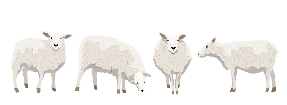 Set of white uncut sheep in various poses. Realistic Vector Animals