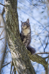 low angle view of a young blue tabby maine coon cat sitting on a tree observing the area