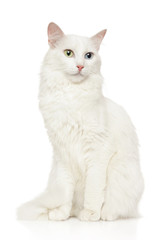 Turkish Angora cat sits in front of white background