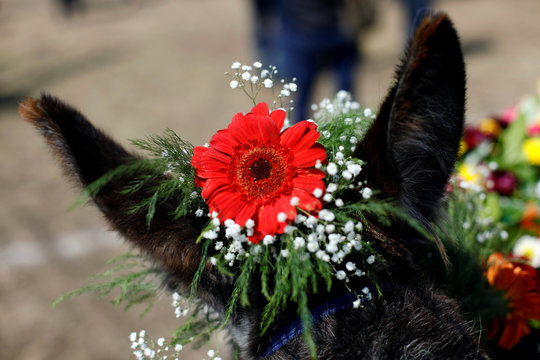 A flower is pictured on the head of a donkey during the annual donkey festival as part of May Day events in Otumba