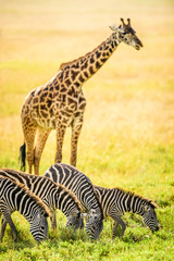 Giraffes and zebra grazing in savanna