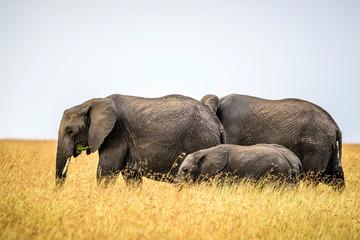 Elephants and calf walking in savanna