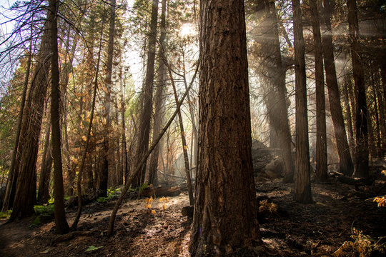 A burnt forest with smoke streaming through the tall trees.