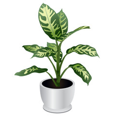 Dumb Cane Tropical Houseplant Isolated on White Background