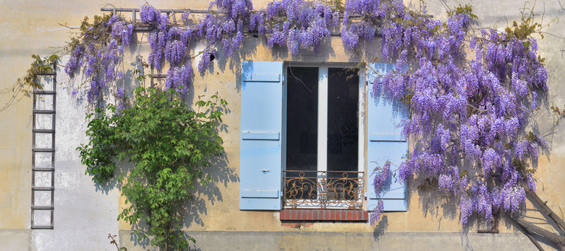 wisteria blooming in spring against an old rural house with  blue shutters at the window
