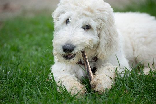 Junger Labradoodle - Hund spielt