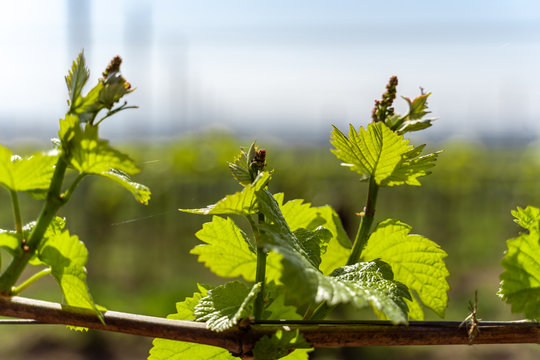 Young shoots of a grape grow in spring in the Kaiserstuhl in Germany in sunlight.